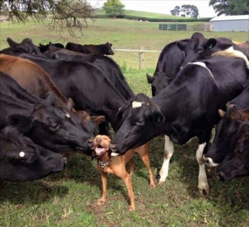 doggie love from cows funny photo