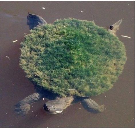 Grass backed turtle, hmmm....