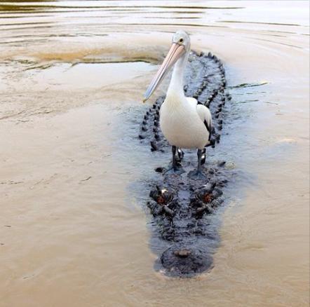pelican on a gator weird photo