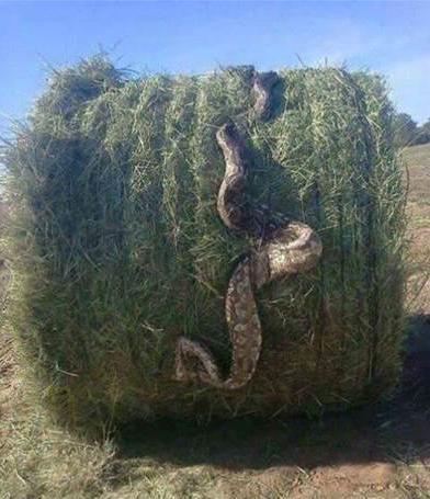 snake in a hay bale weird photo