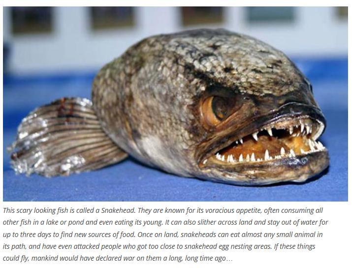 snakehead fish weird photo