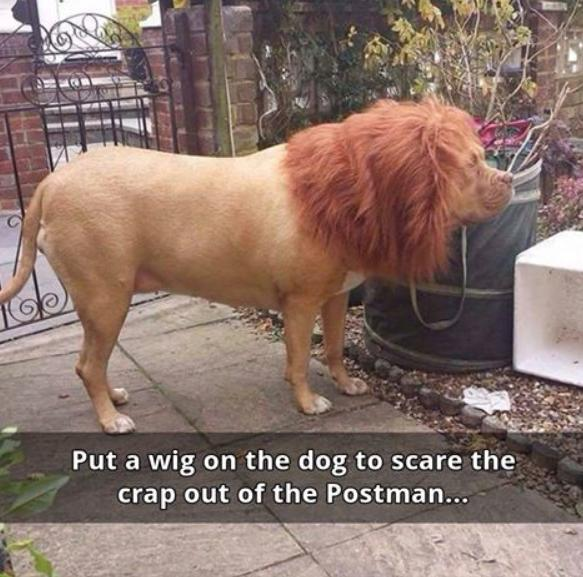wig on the dog funny photo