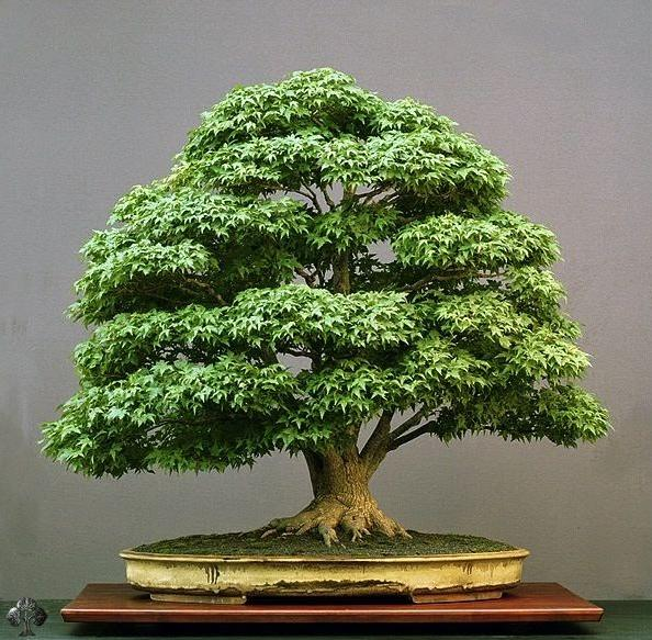 100 Year Old Maple Bonsai Tree