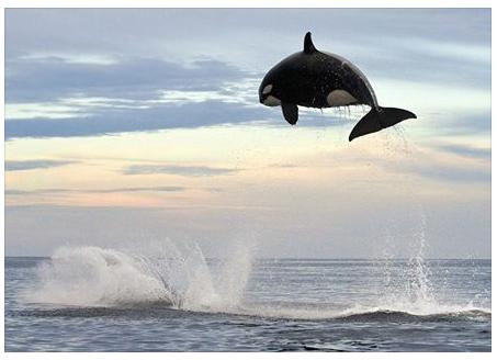 eight tom orca jumping 15 feet out of water cool photo