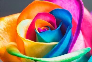 multi colored rose cool photo
