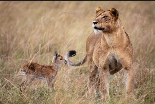 A lioness abandoned by her pack decides to adopt a baby impala after killing its mother. Several times, she tried to leave the baby in the company of other impalas, but ended up having to take the baby back under her wing after the adult impalas were frightened away by her.