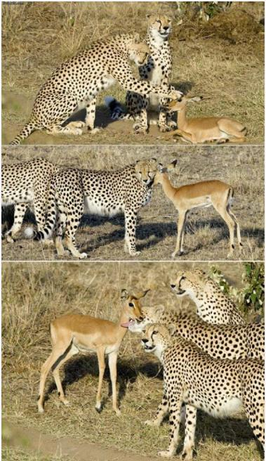 A baby impala was left behind after the rest of its group ran away from the cheetahs. Instead of preying on the impala, they played gently with it a bit before simply getting bored and leaving it.