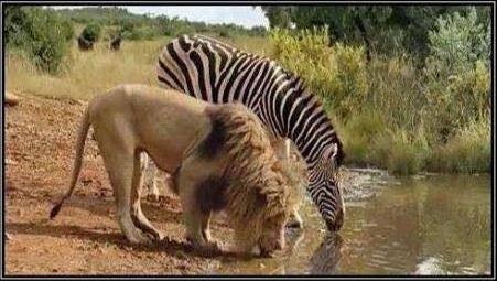 lion and zebra drinking water photo